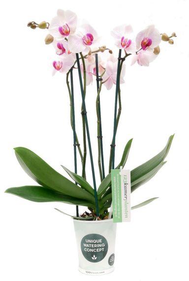 Phalaenopsis Denver - 4 Zweige - Orchidee