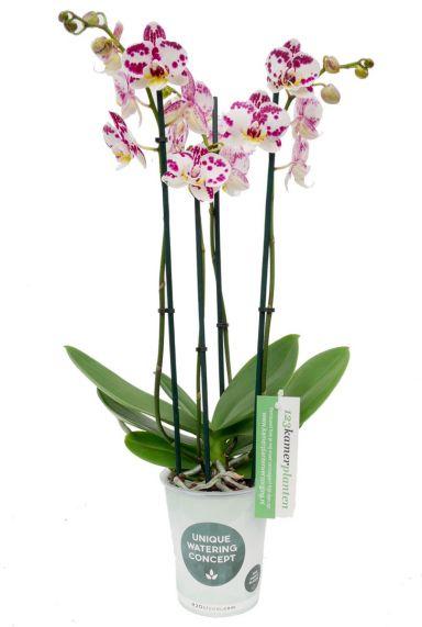 Phalaenopsis Kiss - 4 Zweige - Orchidee