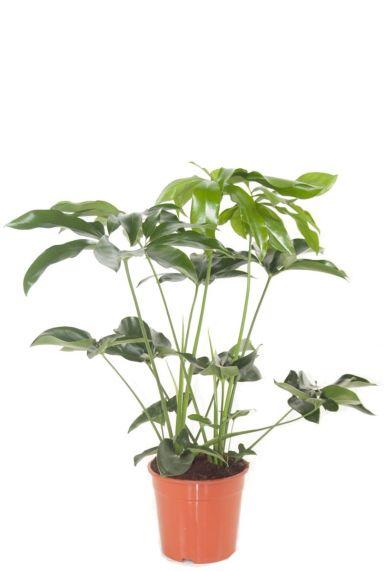 Philodendron green wonder zimmerpflanze