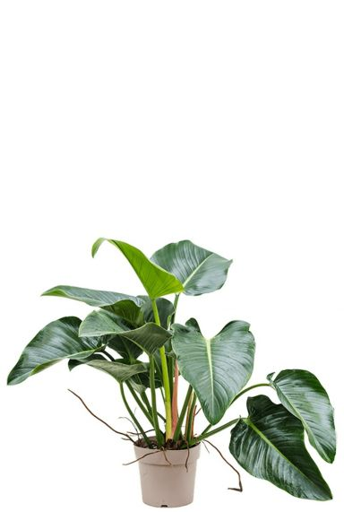 Philodendron green beauty kamerplant