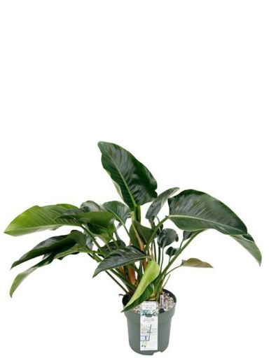 Philodendron green beauty zimmerpflanze