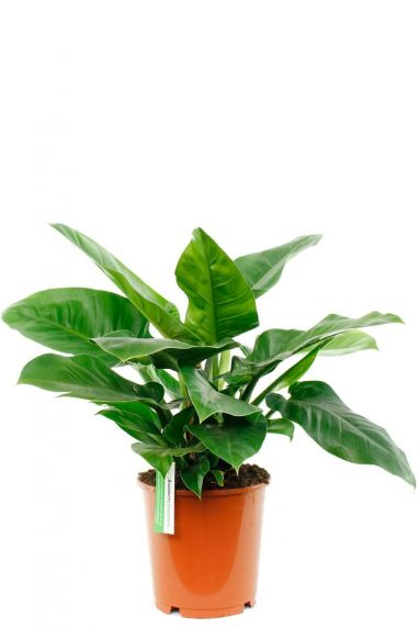 Philodendron Imperial Green pflanze