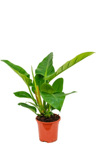 Philodendron imperial green Zimmerpflanze