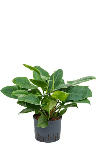 Philodendron imperial green hydrokulturpflanze