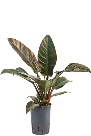 Philodendron imperial red hydrocultuur