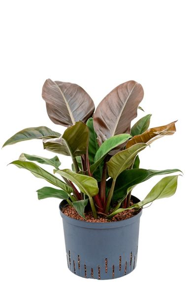 Philodendron imperial red hydrokulturpflanze
