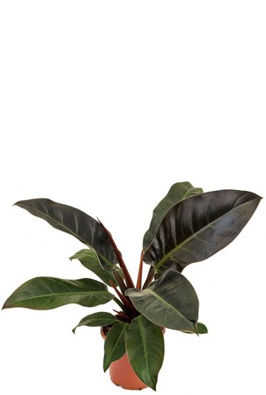 Philodendron imperial red zimmerpflanze