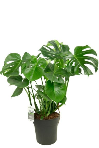 Philodendron monstera 1