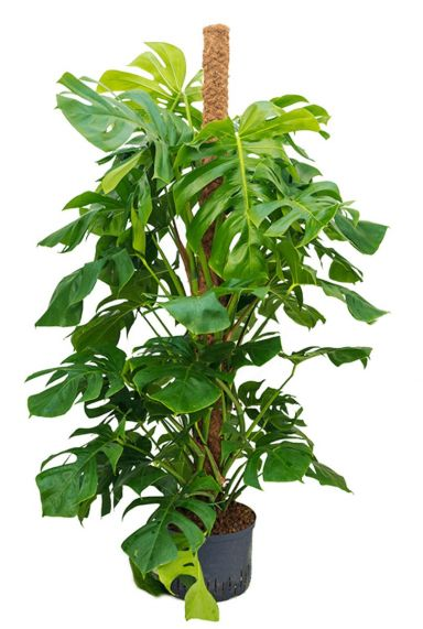 Philodendron monstera hydrocultuur 1