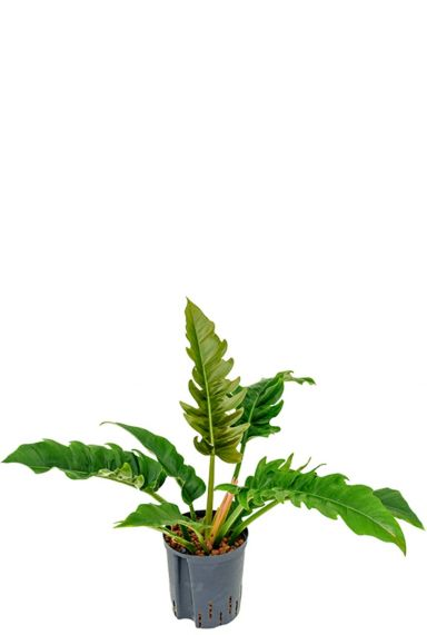 Philodendron narrow hydrocultuur
