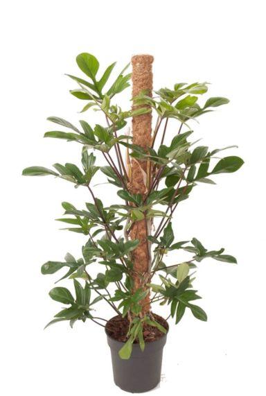 Philodendron pedatum zimmerpflanze