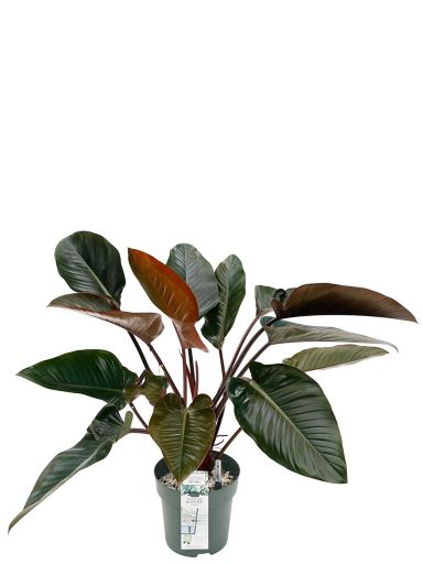 Philodendron red beauty zimmerpflanze