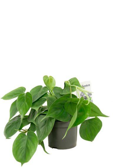 Philodendron scandens Zimmerpflanze