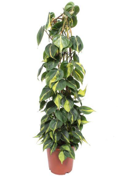 Philodendron scandens brasil kamerplant