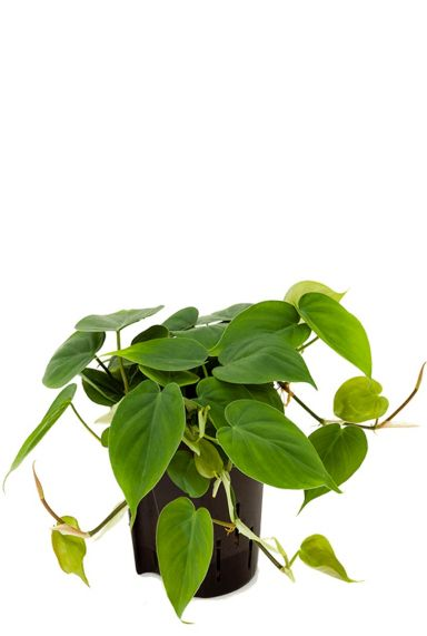 Philodendron scandens hydrokulturpflanze