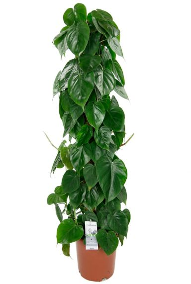 Philodendron scandens mosstok 2