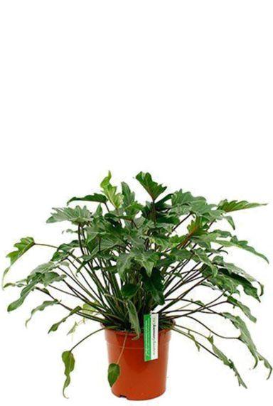 Philodendron xanadu zimmerpflanze