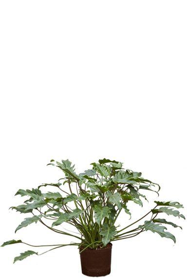 Philodendron xanadu hydrocultuur