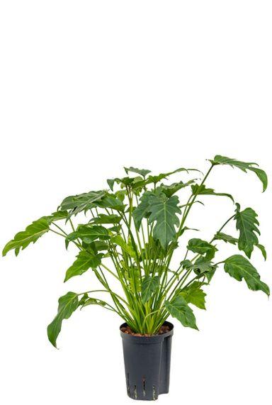 Philodendron xanadu hydrocultuur 1