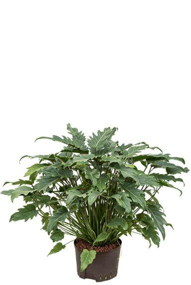 Philodendron xanadu hydroplant