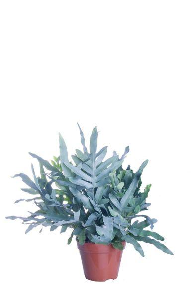 Phlebodium blue star