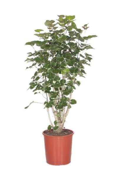 Aralia Balfourii - Polyscias  zimmerpflanze