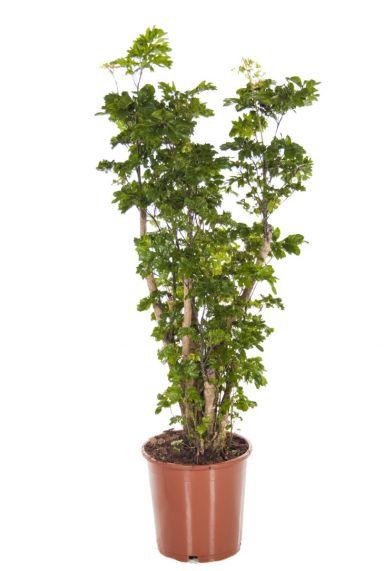 Aralia Roble - Polyscias zimmerpflanze