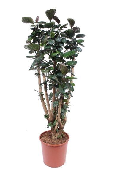Aralia Fabian - Polyscias    zimmerpflanze