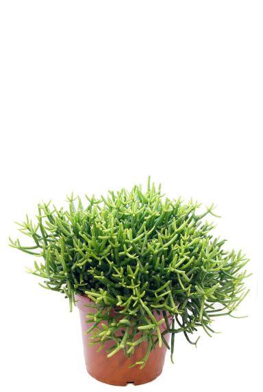 Rhipsalis heteroclada plant