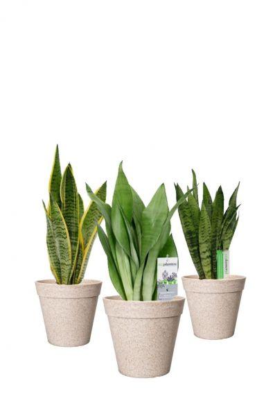 Snasevieria-planten-mix