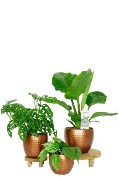 Schaduw planten philodendron in pot