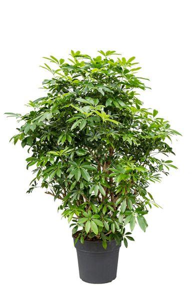 Schefflera arboricola plant 1