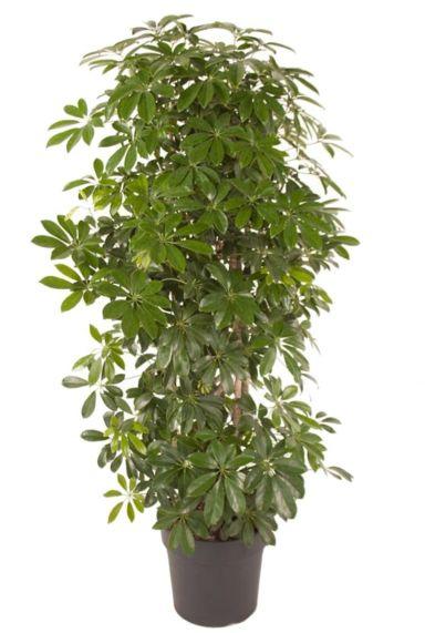 Schefflera compacta kamerplant 1