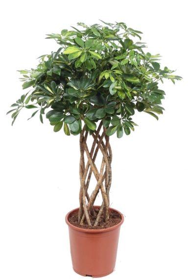 Schefflera gold capella pflanze geflochten