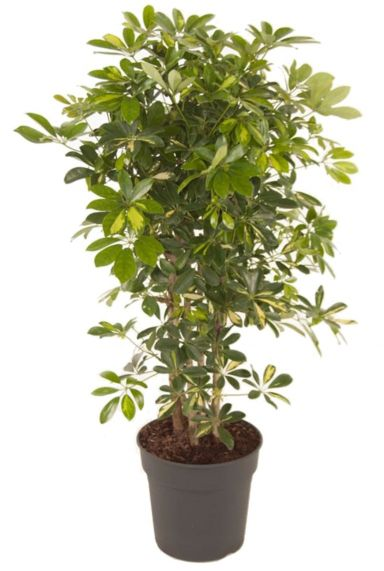 Schefflera gold capella plant 3