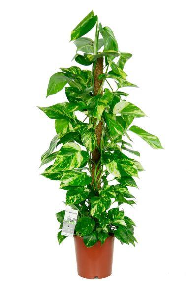 Scindapsus aureum kamerplant 2