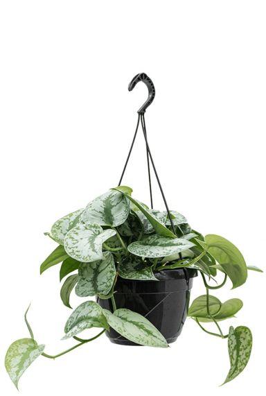 Scindapsus pictus hängepflanze