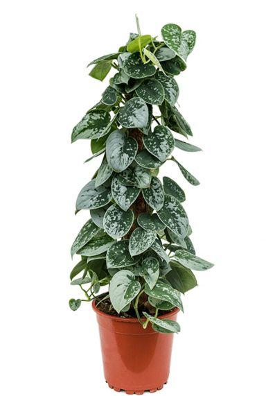 Scindapsus pictus silvery ann  Efeututen pflanze