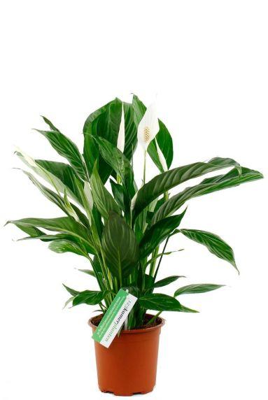 schöne spathiphyllium