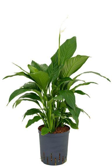 Spathiphyllum gokyo hydrokulturpflanze