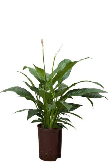Spathiphyllum mont blanc hydrokulturpflanze