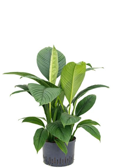 Spathiphyllum sensation hydrokulturpflanze