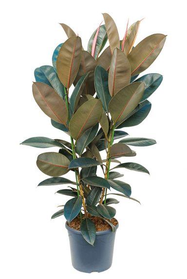 Ficus elastica abidjan - Gummibaum