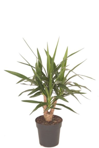Stoere yucca plant 1