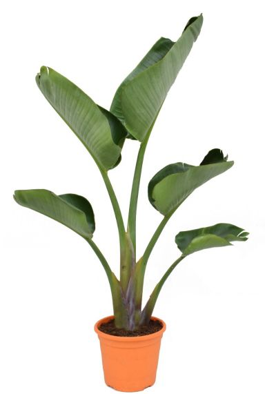 Strelitzia nicolai kamerplant 3