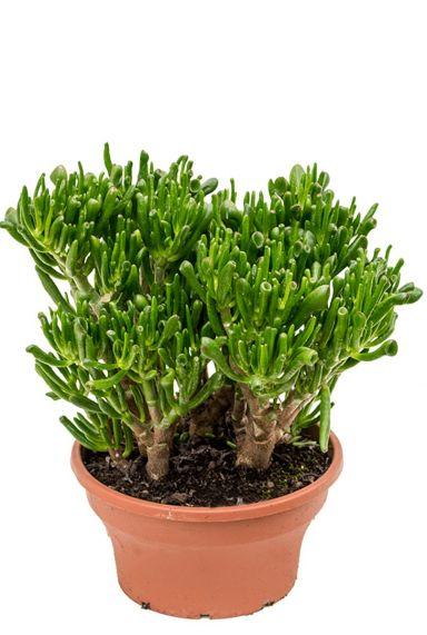 Crassula Hobbitafra zimmerpflanze