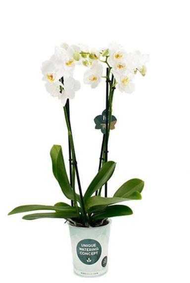 Phalaenopsis Dover - 4 Zweige - Orchidee
