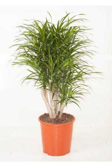 Zimmerpflanzen geeignet für im Schatten - 123zimmerpflanzen