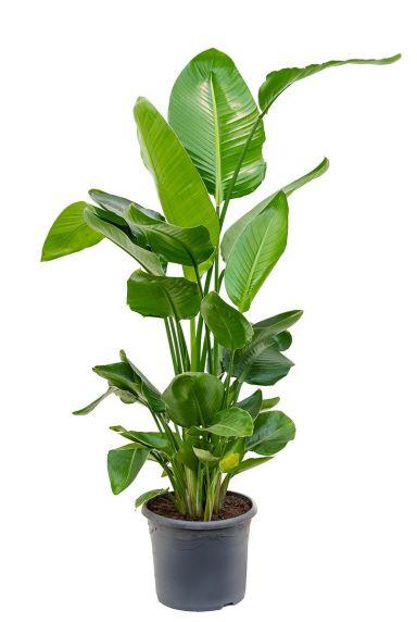 Große Zimmerpflanzen kaufen - 123zimmerpflanzen