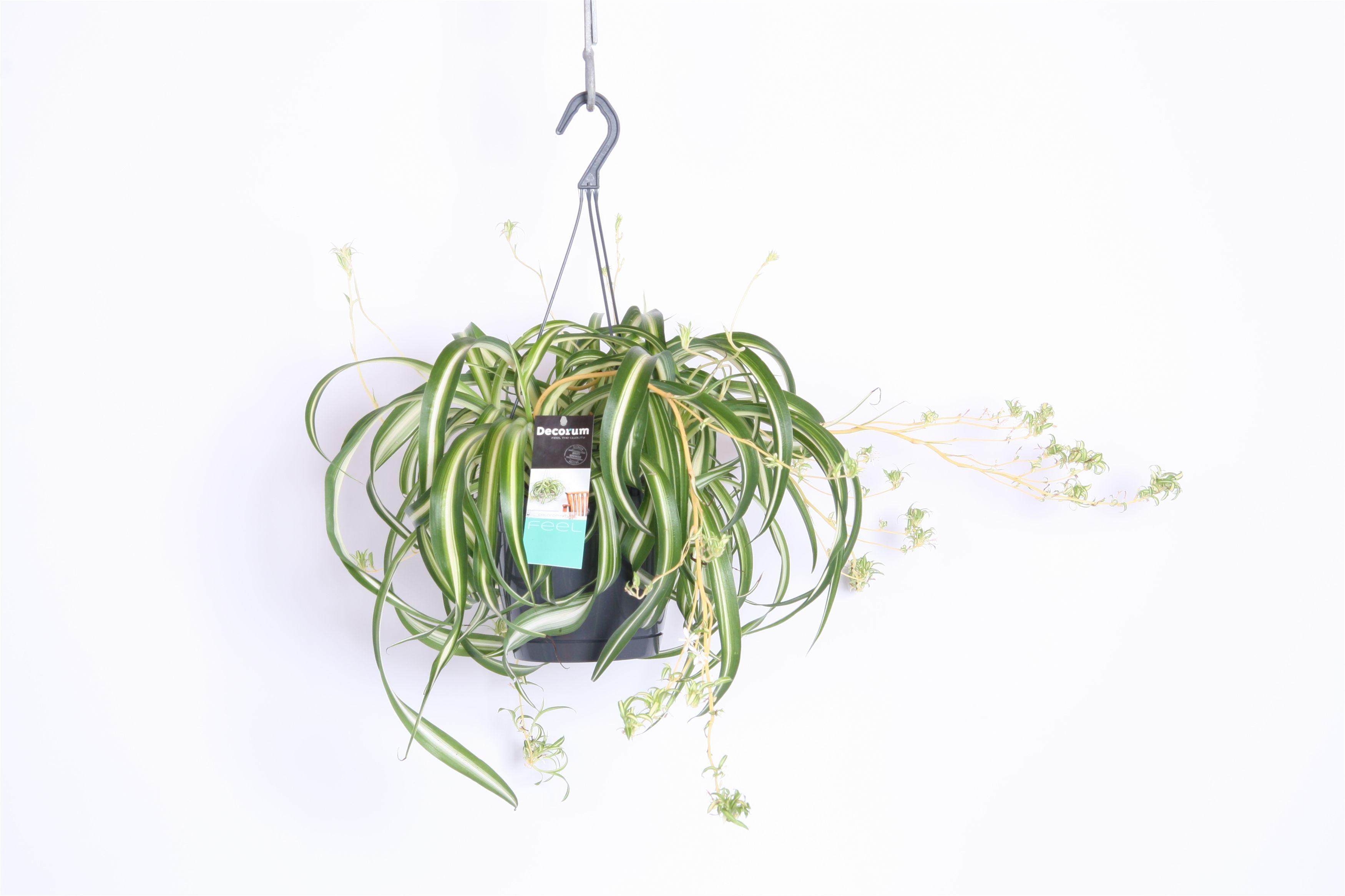 Beliebt Bevorzugt Chlorophytum Bonnie Zimmerpflanze von 35 cm kaufen &LB_43